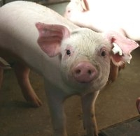 Potato Protein helpful to prevent scours in young pigs?