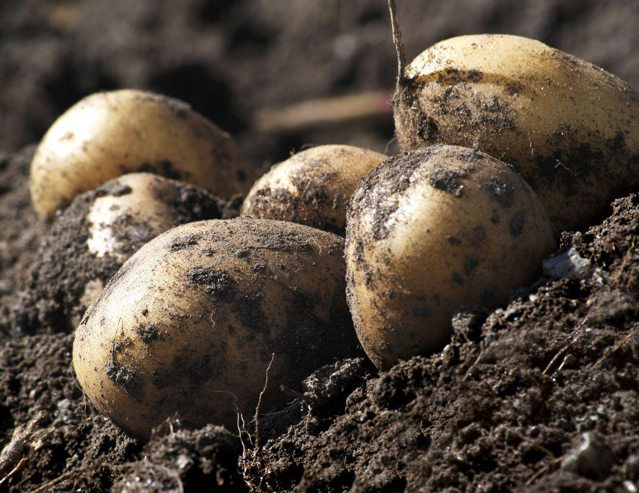 Potatoes & Products: Industry, News, Stats, Prices ...