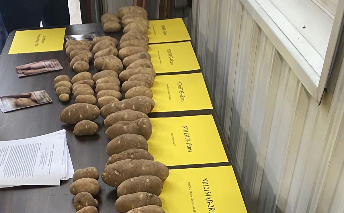 Картоптың әр түрлі мөлшердегі сорттары 26 тамызда бейсенбіде Солтүстік жазықтағы картоп өсірушілердің алаңында Ларимор қаласындағы Ховерсон фермаларында үстелге тұрады (Ann Bailey/Grand Forks Herald)
