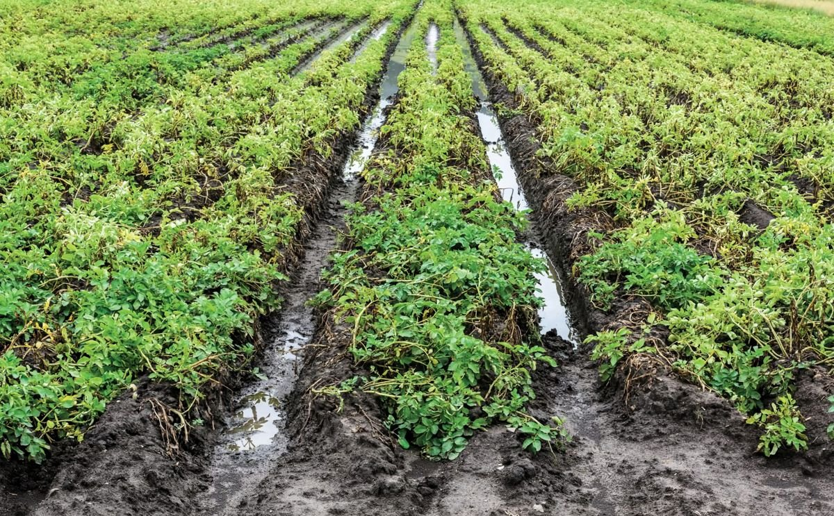 North-western European Potato Growers: Wet summer causes quality issues.