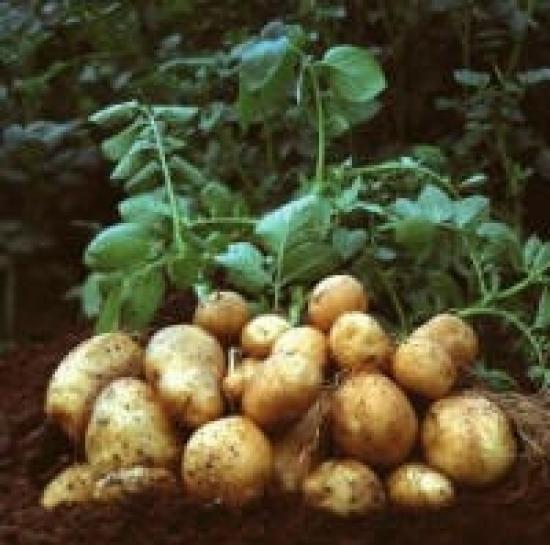 The genetically modified starch potato Amflora