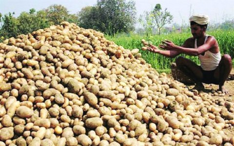 Gujarat gets lion's share of almost 27% in potato exports