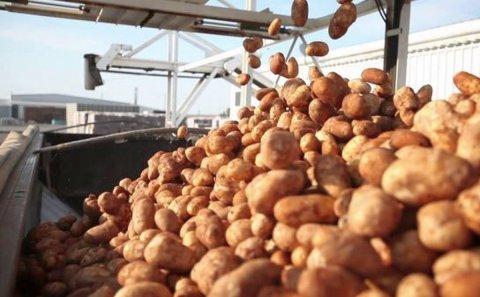 Potato Industry Welcomes USD 50 Million USDA Purchase for Potatoes