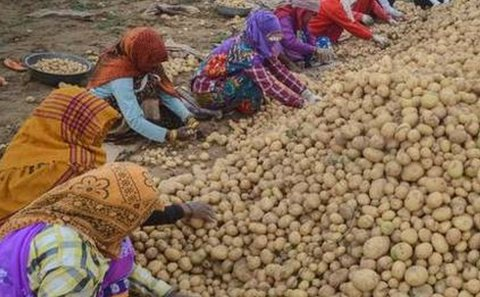 West-Bengal potato farmers make a killing as weather turns bad