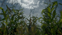 In 2007, 20 – 40 % of all corn in the US was used for energy production
