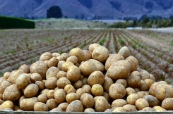 Satisfactory end of the early potato season for Lower Saxony, Germany
