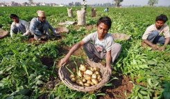 Potato growers Jalandhar threaten action if Indian government doesn't step in