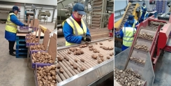 First Jersey Royals arrive in the United Kingdom