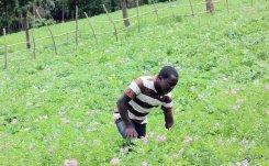 Potato Cyst Nematodes threaten crop in Kenya