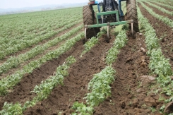 Opportunities for potato farming in Nigeria