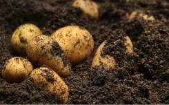 Northwest Potato Research Consortium has awarded grants for 37 regional potato projects