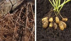 Method developed to predict root mass of shrubs may be helpful for potato crop as well