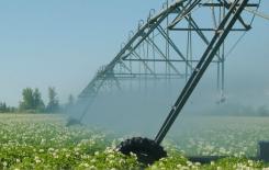 Washington Potato Producers To Vote On Marketing Order