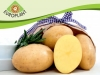Award winning Europlant potato variety Elfe, offering excellent suitability for washing and pre-packing